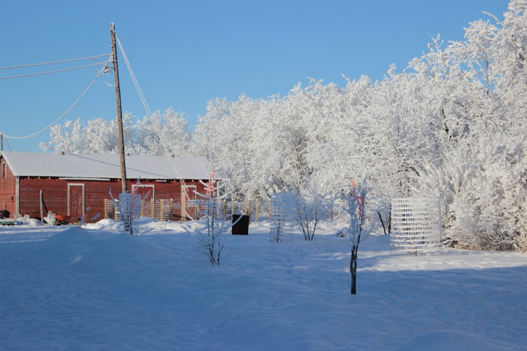A winter scene showing caged trees and a small red barn.