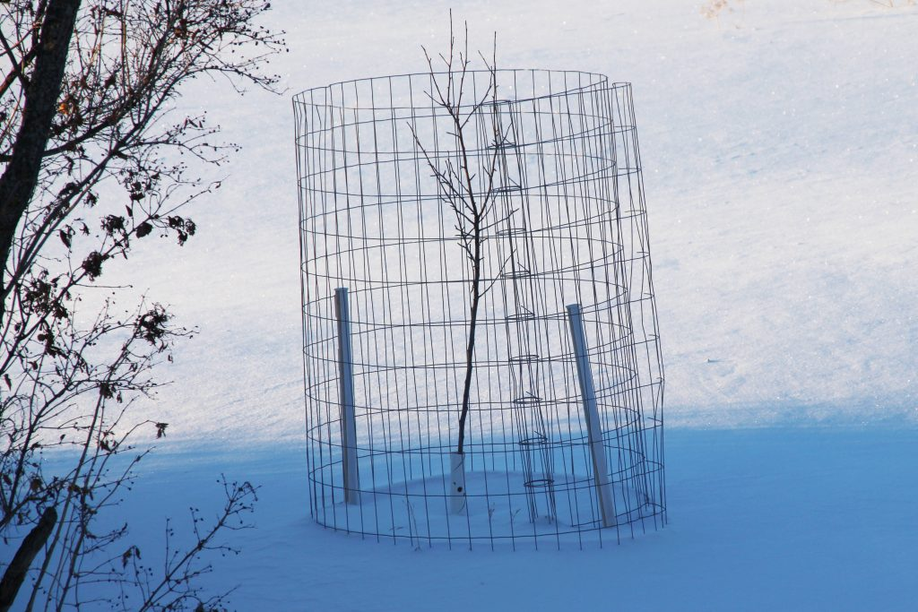A fruit tree surrounded by fencing to protect it from deer and rabbit damage
