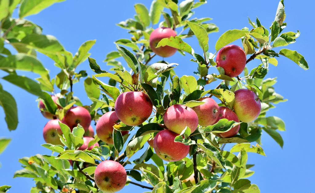 an apple tree branch with apples on it