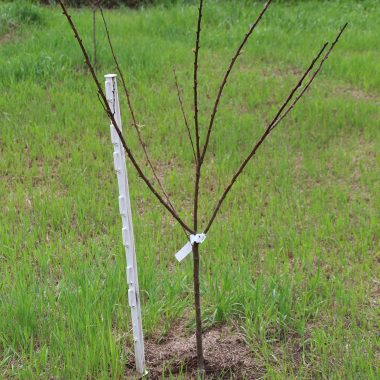 A newly planted bare root fruit tree that has not leafed out yet