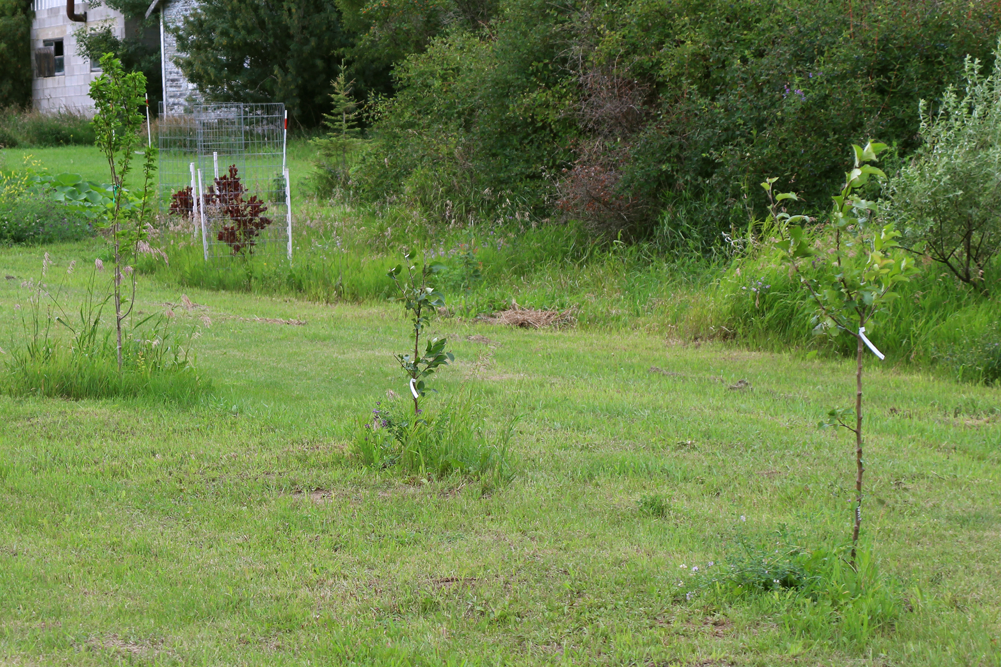 a row of young fruit trees in a grassy area