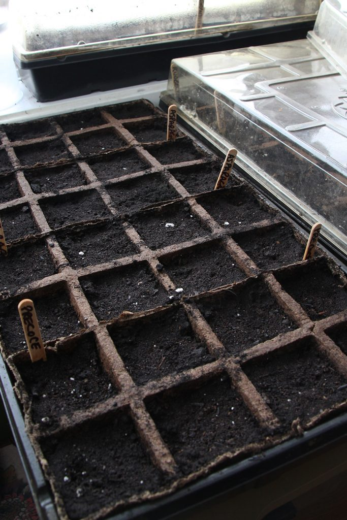 A tray of asparagus being started from seed
