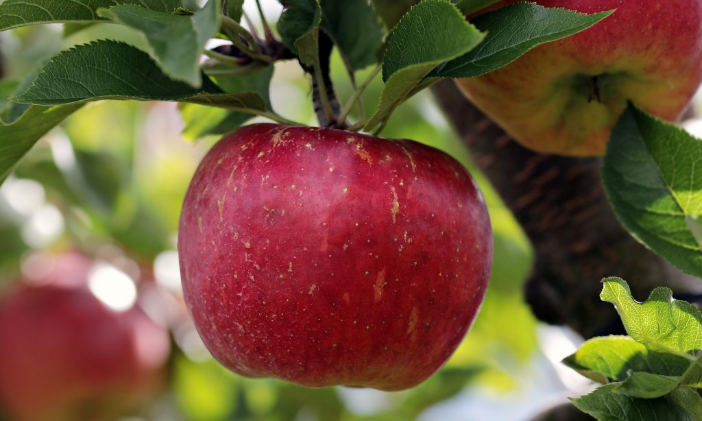 A red apple hanging from a branch.