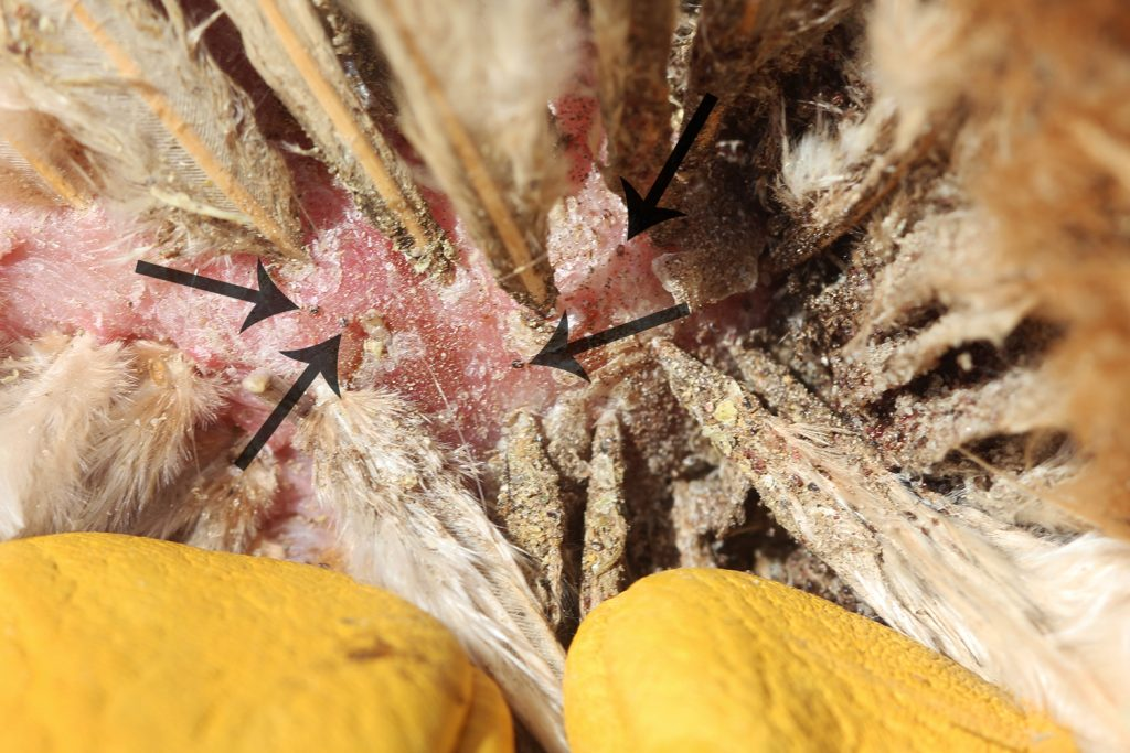 northern fowl mites on a chicken