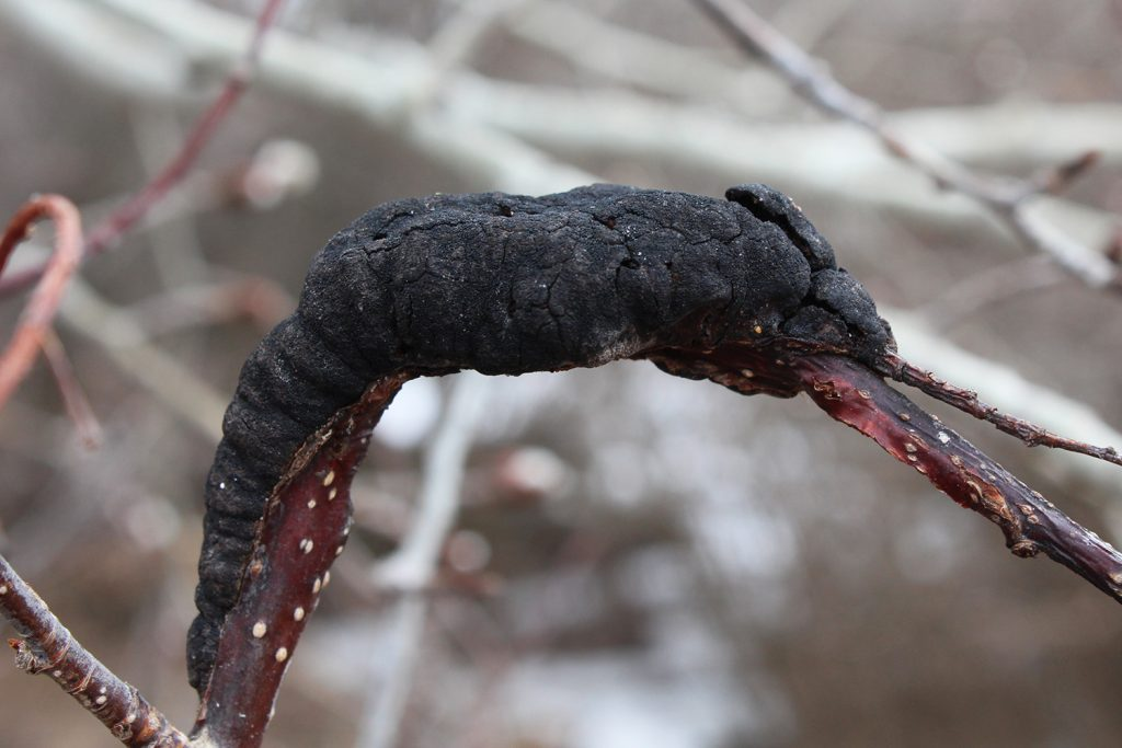 a chokecherry tree branch with a black knot fungal infection