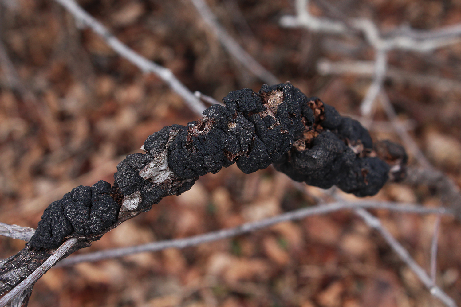 black knot disease in an infected chokecherry branch.