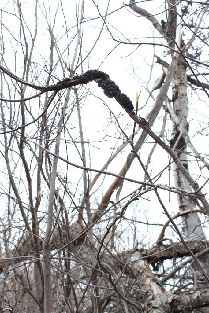 a branch with black knot disease, which looks like dog poop wrapped around the branch
