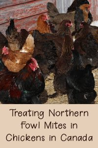 Treating Northern Fowl Mites in Chickens in Canada