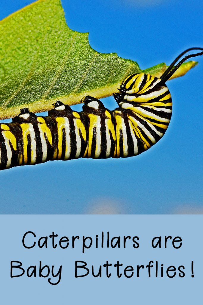 Caterpillars Are Baby Butterflies - Rural Dreams Blog