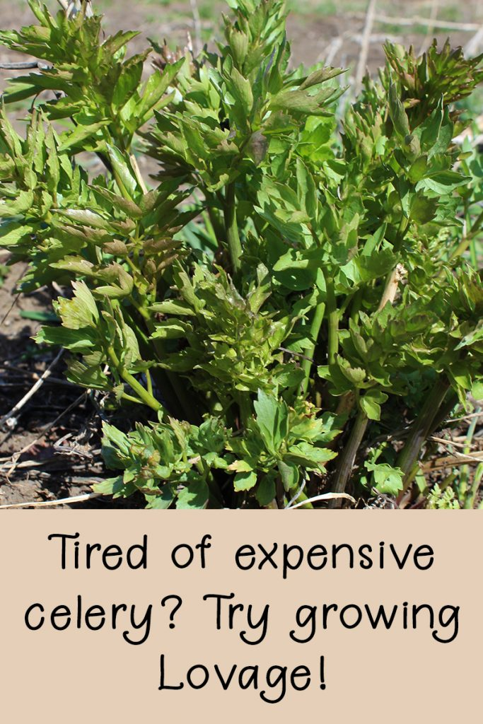 Tired of expensive celery?  Try growing lovage! - Rural Dreams