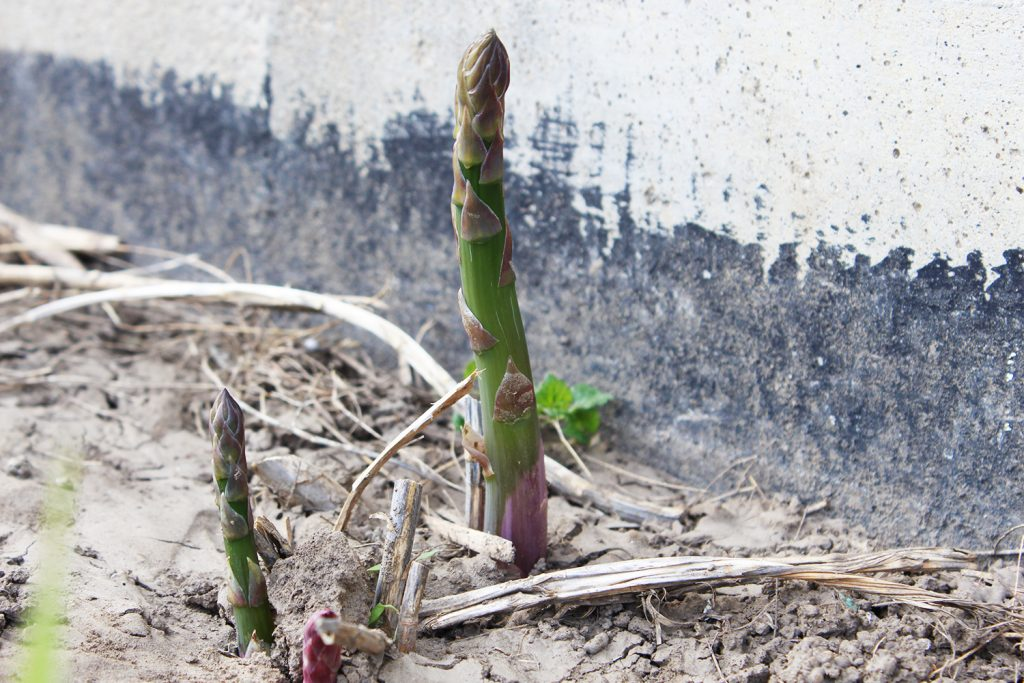 Asparagus growing out of the ground - seasonal spring food