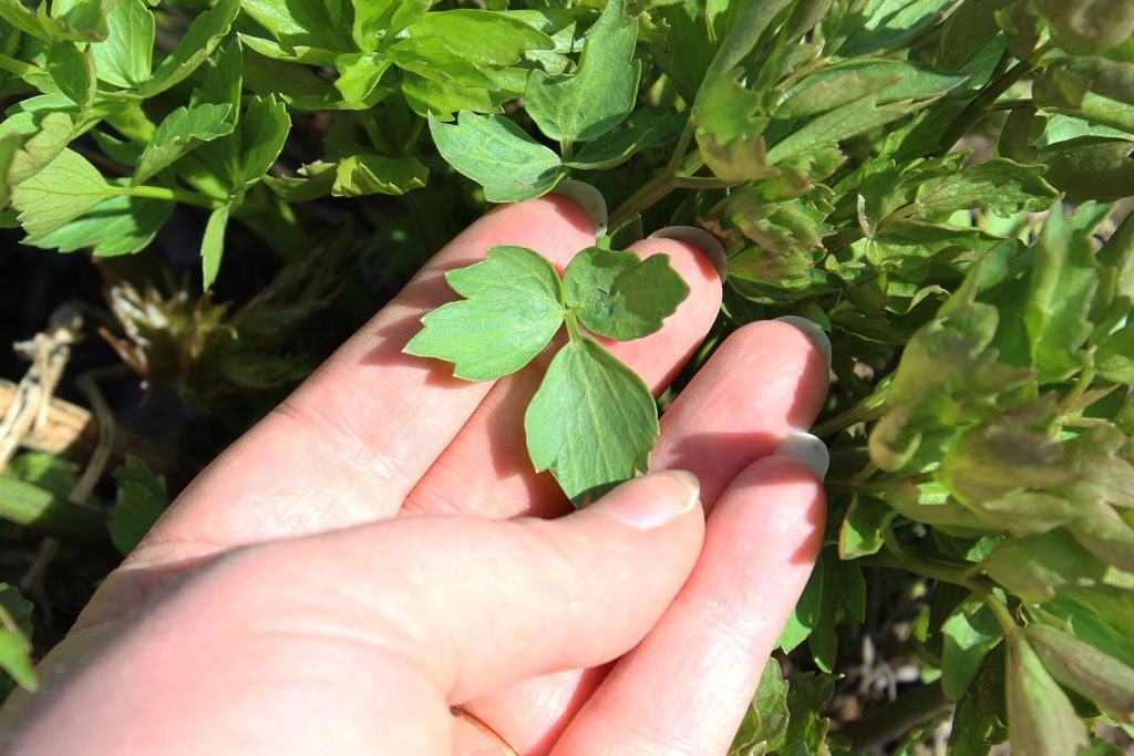 a lovage leaf to illustrate groing lovage
