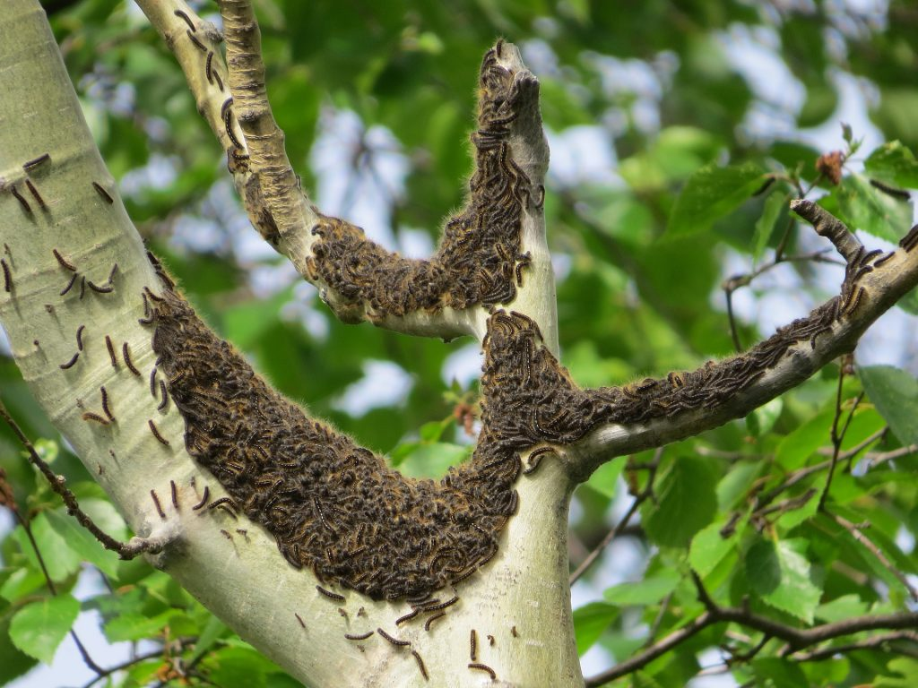 tent caterpillars on a tree